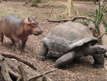 owen2 - owen hipopotamo