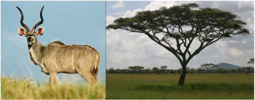 kudu - kudu antilope y acacia