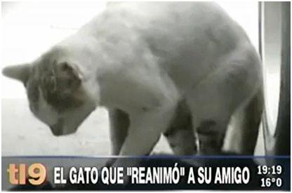 gato - Gato callejero salva a su amigo