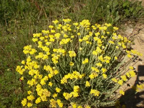 abrotano2b - Abrotano: esencia floral para la abundancia