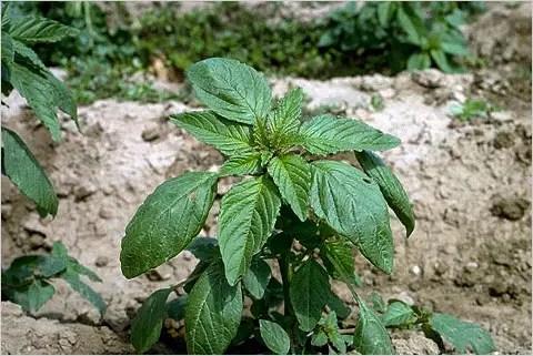 amaranto - amaranto