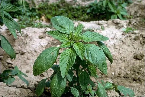 amaranto - Malas hierbas 1 - Monsanto 1: mapa con los avances de las plantas resistentes a los herbicidas de los transgénicos