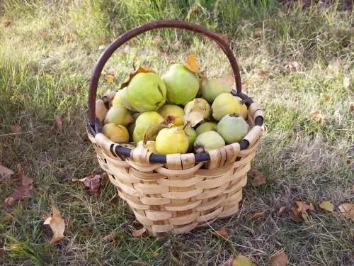 cesta - cesta de membrillos
