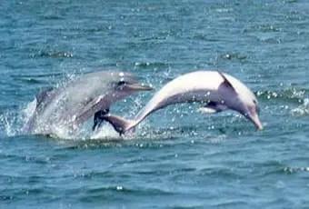 tucuxi delfin - tucuxi delfin