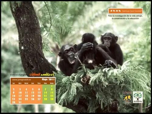 Calendario IJGE may2011 10241b - Calendario-fondo de escritorio de Jane Goodall: mayo 2011