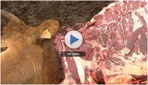 comer animales safran foer