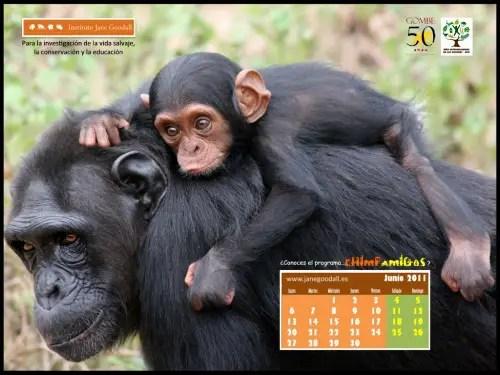 Calendario IJGE jun2011 1024b - Calendario-fondo de escritorio Jane Goodall: agosto 2011