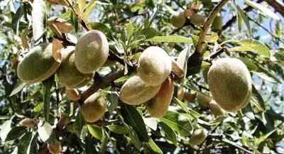almendro con fruto - Probamos la nueva gama BIO de Bebidas de almendras, avena y arroz de ALMENDROLA