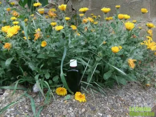 calendula1 - Haciendo aceite de caléndula y más recetas caseras