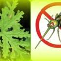 Picnik collage - Repelentes naturales de mosquitos utilizando aromaterapia