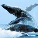 ballenas jorobadas ritual1 - BALLENAS, DELFINES: música y sonido