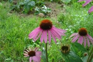 equinacea - EQUINÁCEA: una poderosa planta para reforzar el sistema inmunitario, aumentar las defensas y evitar infecciones de todo tipo