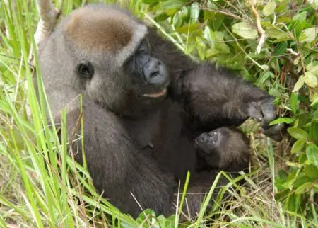 gorila2 - gorila