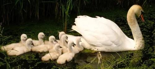 patos - cisne pertenencia