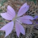 achicoria - Achicoria (esencia floral) y la belleza