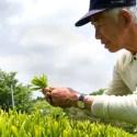 cosecha manual - Grinti: una tienda minimalista de té