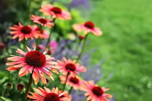 Depositphotos 6039223 s 2015 - echinacea flowers