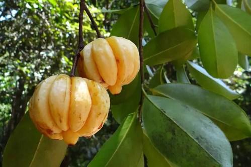 Garcinia Cambogia - Garcinia Cambogia