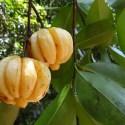 Garcinia Cambogia - Garcinia Cambogia ¿qué es?