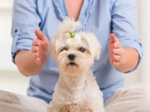reiki animales - Woman doing Reiki therapy for a dog, a kind of energy medicine.