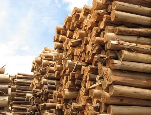 troncos eucalipto - La Gestión Forestal Sostenible, garantía de futuro para nuestros bosques