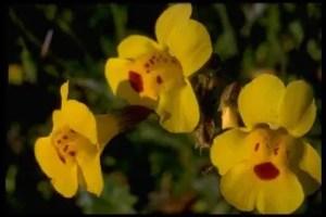 mimulo - Flores para subir nuestras defensas