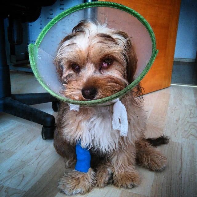 anestesia en perros