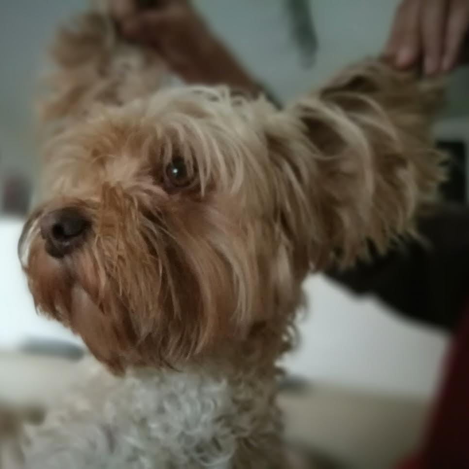 limpiar los oídos del perro