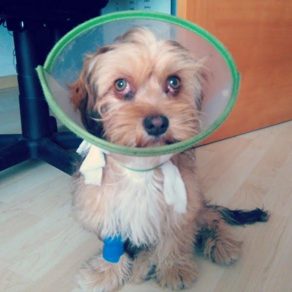 perro con ojos cerezas recién operados