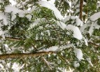 Pine branch covered in snow
