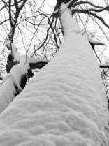 Snow-draped tree trunks