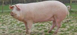لحم الخنزير .. لماذا يحرم تناوله .. الشبكة نت