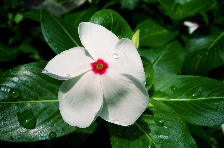 Desentrañan cómo se genera un compuesto clave contra el cáncer en una planta de Madagascar