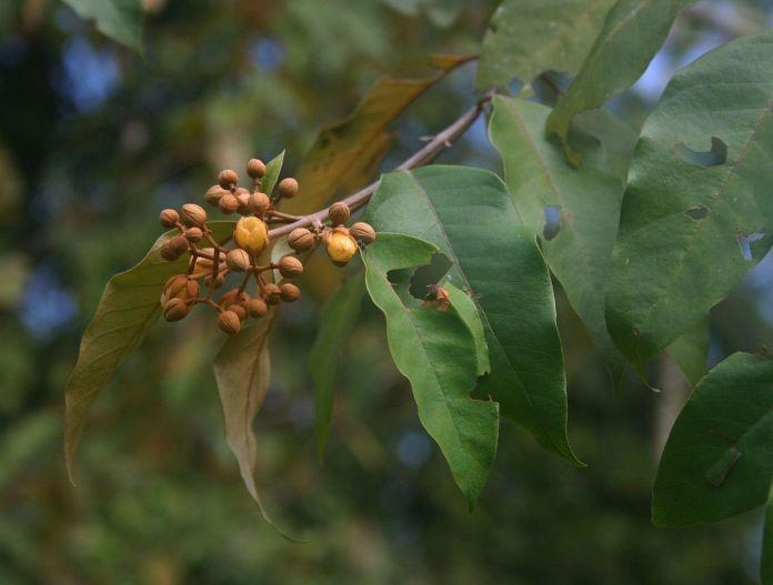 Planta amazónica tiene propiedades para curar el cáncer