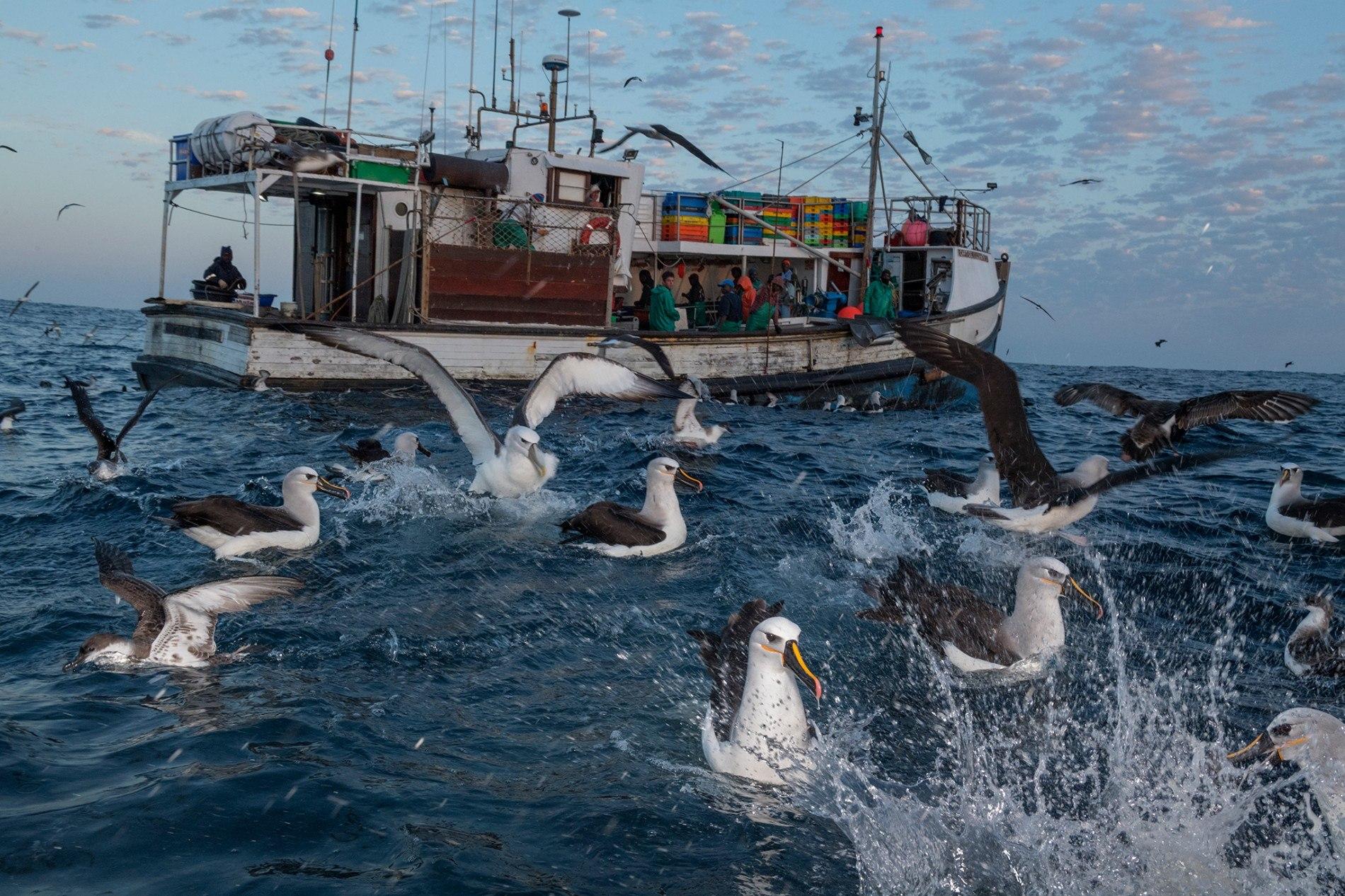Químicos tóxicos se acumulan en las aves marinas que comen plástico