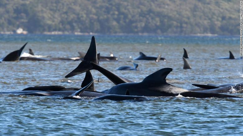 En Australia intentan rescatar a 270 ballenas varadas en un banco de arena