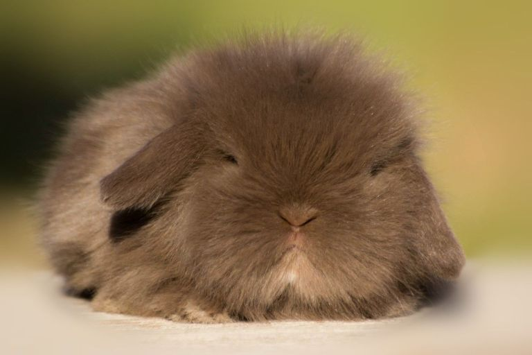 mini lion lop chocolate