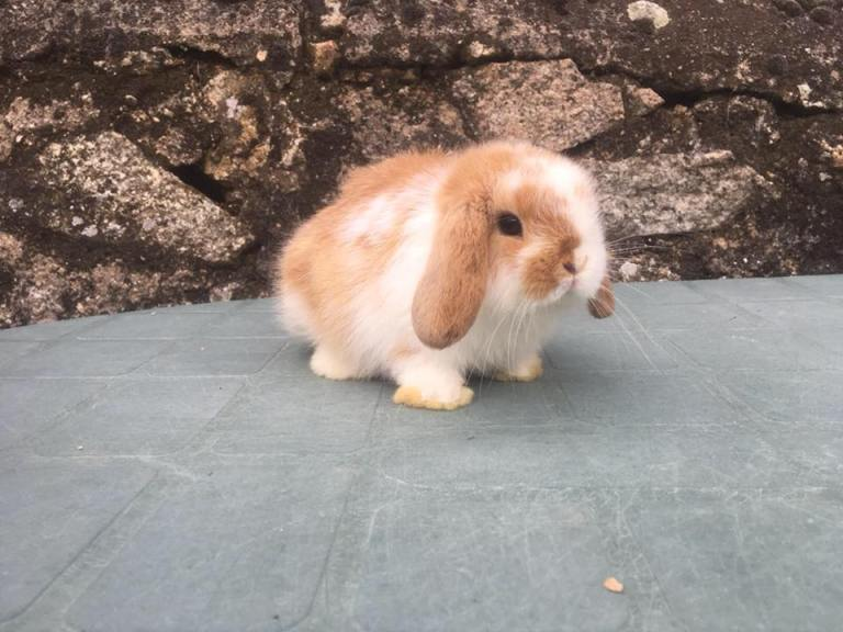 mini lop blanco y canela