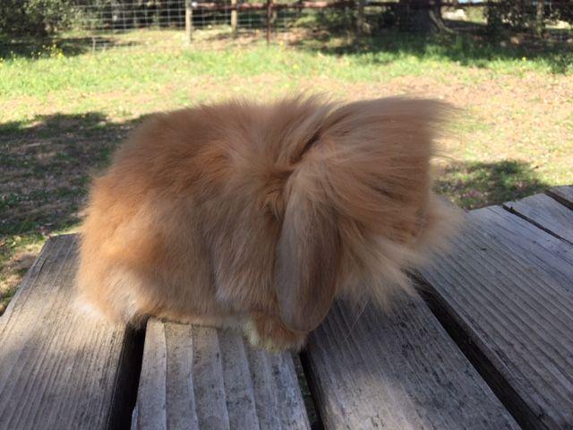 mini lion lop orange