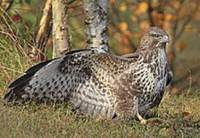 águila ratonera o viquina (Busardo)