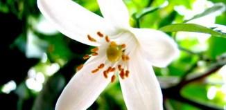 Cómo preparar la infusión de flor de azahar