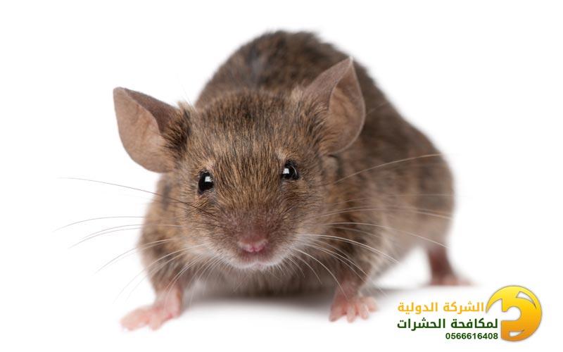 مكافحة فئران فى جدة