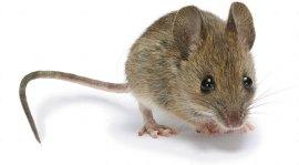 مكافحة الفئران بجده
