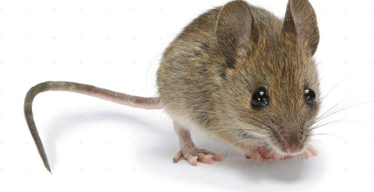4 طرق فعالة فى مكافحة الفئران بجده | mouse pest control