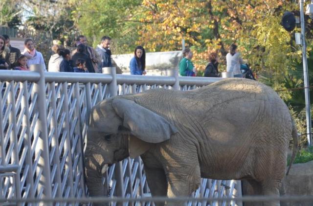 Elefanta en el zoo de Barcelona. Según el modelo de la EAZA, cuanto peor le va a la naturaleza mejor les va a los zoos actuales, porque más animales están en cautividad