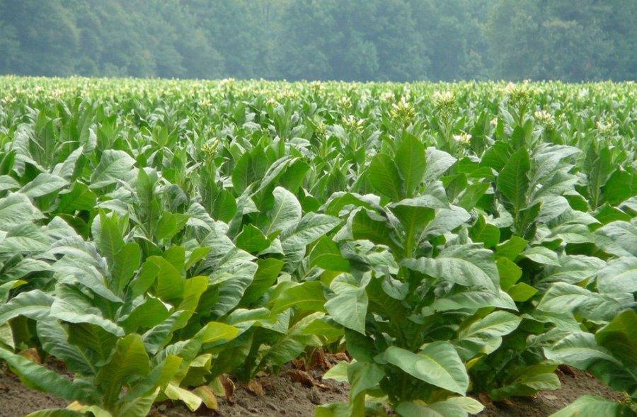 sector agropecuario tabaco