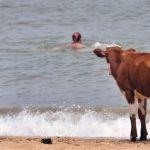 """السويد تسمح للأبقار بزيارة """"شواطئ العراة"""" لتهدئتها"""