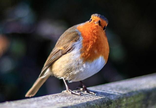 Robin looking skywards