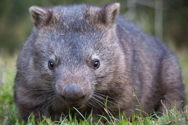 Common Wombat (Vombatus ursinus), Australia