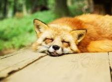 fox-relaxed